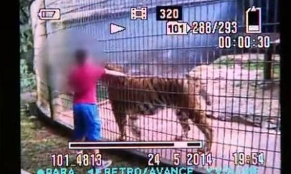 video_tigre