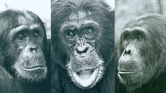 Chimpanzès de Gombe
